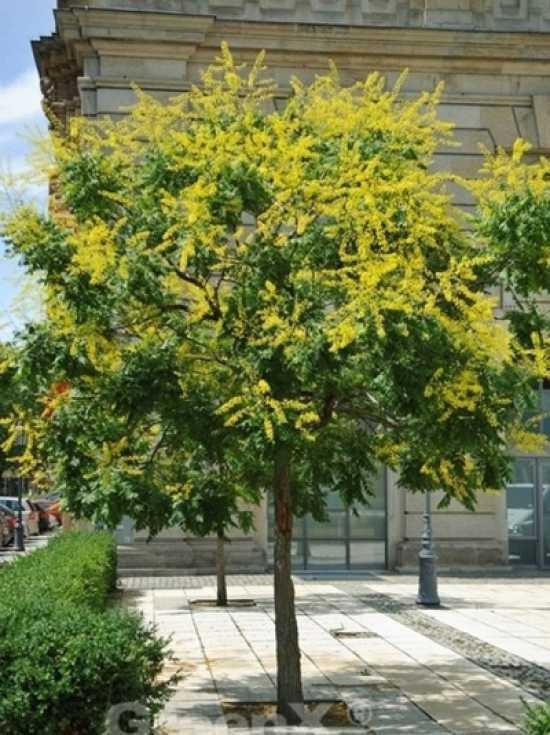 koelreuteria paniculata blasenesche blasenbaum chinesischer lackbaum g nstig kaufen. Black Bedroom Furniture Sets. Home Design Ideas