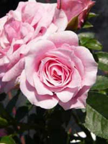 Rosa 'Pink Symphonie ®' / Zwergrose 'Pink Symphonie'