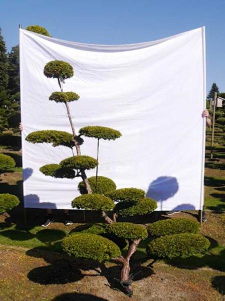 Taxus baccata 'Semperaurea' H: 210 cm B: 160 cm / Garten-Bonsai (0137)