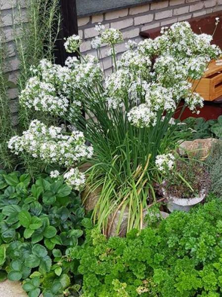 Allium tuberosum / Schnitt-Knoblauch