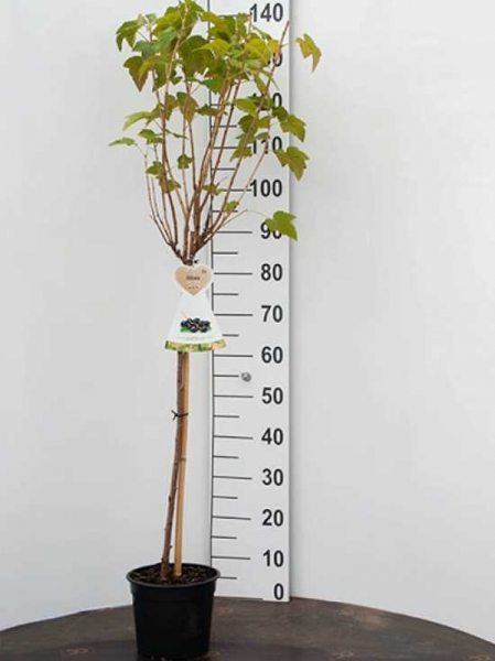 Ribes nigrum 'Titania ®' / Schwarze Johannisbeere 'Titania'