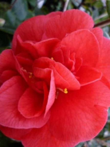 Camellia japonica 'Lady Campbell' / Japanische Kamelie 'Lady Campbell'