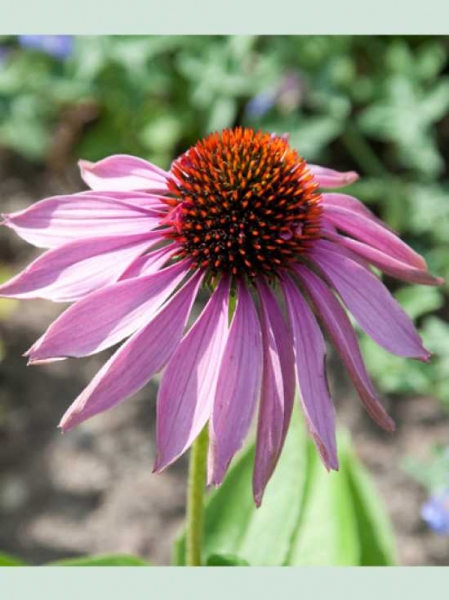 Echinacea purpurea 'Doppeldecker' / Scheinsonnenhut