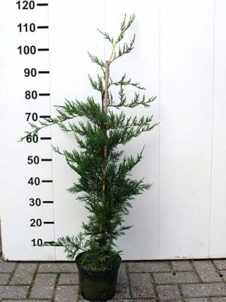Cupressocyparis leylandii / grüne Bastardzypresse 80-100 cm im 3-Liter Container