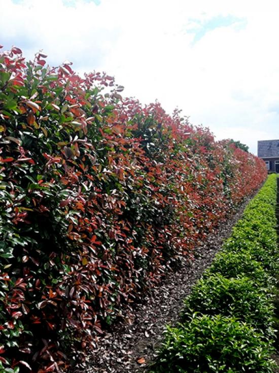 Photinia fraseri Glanzmispel Red Robin 125-150cm