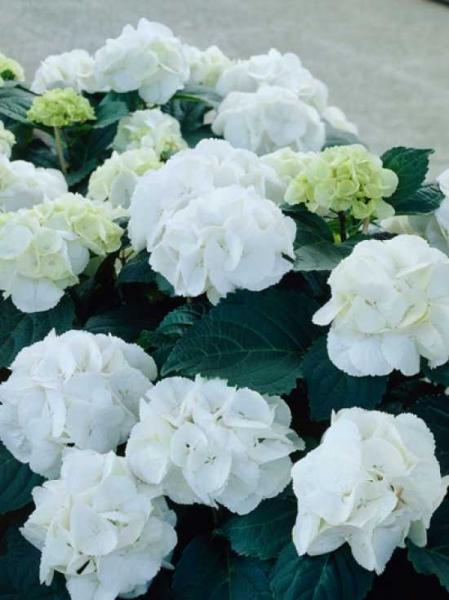 Hydrangea macrophylla 'Snowball' / Bauern-Hortensie 'Snowball'