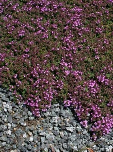 Thymus praecox 'Minor' / Garten-Thymian