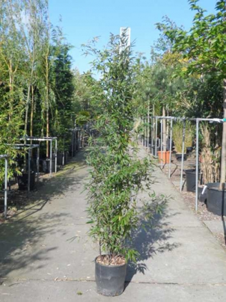 Phyllostachys nigra 'Boryana' / brauner Flecken Bambus 150-175 cm im 12-Liter Container