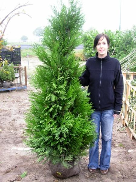 Thuja plicata 'Atrovirens' / Lebensbaum 'Atrovirens' 180-200 cm mit Ballierung