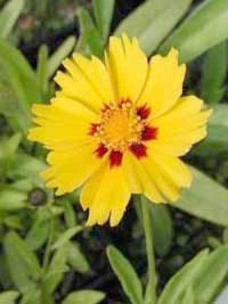 Coreopsis lanceolata 'Sterntaler' / Zwergiges Garten-Mädchenauge