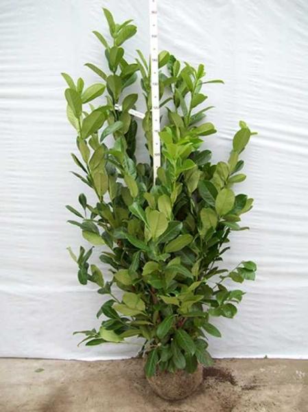 Prunus laurocerasus 'Rotundifolia' / Kirschlorbeer 'Rotundifolia' 100-125 cm mit Ballierung
