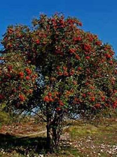 Sorbus aucuparia / Gemeine Eberesche / Vogelbeere