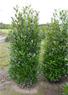 Prunus l. Elly, Kirschlorbeer Elly