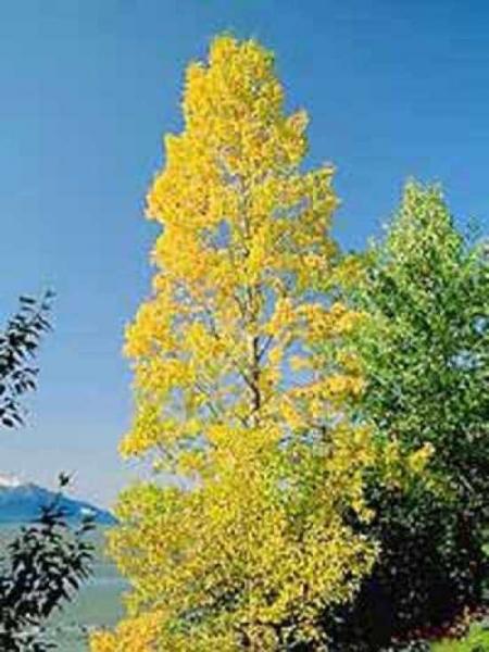 Populus balsamifera / Balsam-Pappel