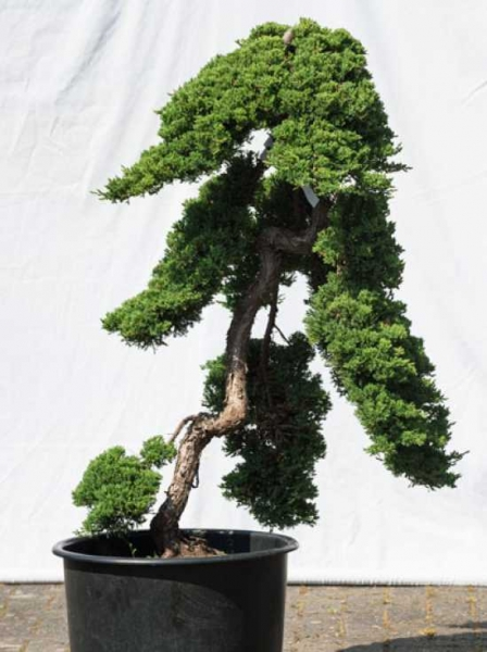 Juniperus procumbens 'Nana' H: 120 cm B: 80 cm / Garten-Bonsai (532)
