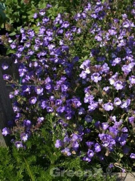 Chaenorhinum origanifolium 'Blue Dream' / Garten-Schein-Löwenmaul