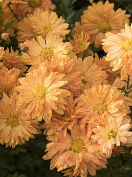 Geliebte Chrysanthemum indicum 'Kleiner Bernstein' / Chrysantheme, Winter &GQ_79