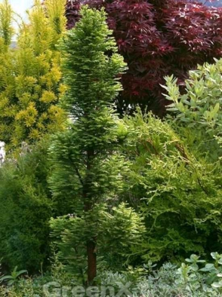 Taxodium distichum 'Pevé Minaret' / Sumpfzypresse 'Pevé Minaret'