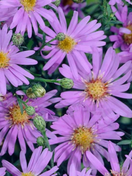 Aster ericoides 'Blue Star' / Myrten-Aster 'Blue Star' / Septemberkraut 'Blue Star'