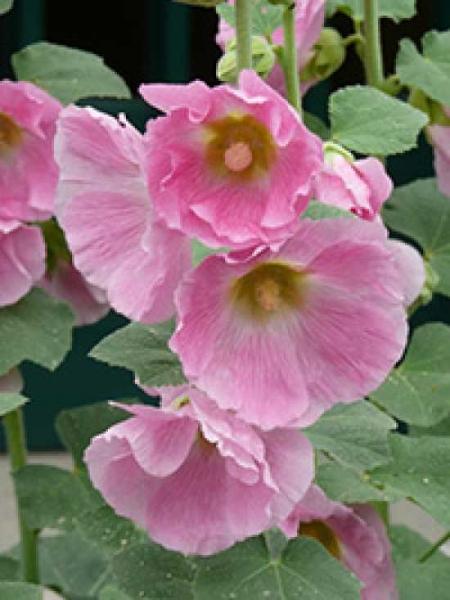 Alcea rosea 'Pleniflora' rosa / Gefüllte Stockrose rosa
