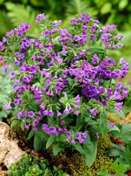 Pulmonaria angustifolia 'Blaues Meer' / Schmalblättriges Garten-Lungenkraut