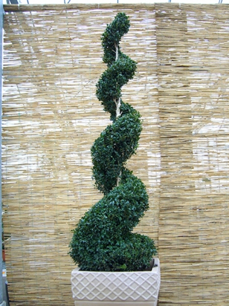 Buxus sempervirens 'Jumbo-Spirale' / Buchsbaum 'Jumbo-Spirale' 150-175 cm Solitär
