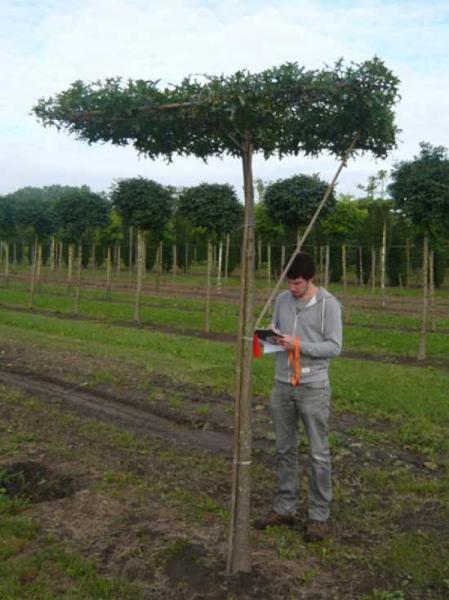 Quercus palustris / Dachform/ Dachspalier / Sumpf-Eiche / Spree-Eiche / Boulevard-Eiche / Nadel-Eiche