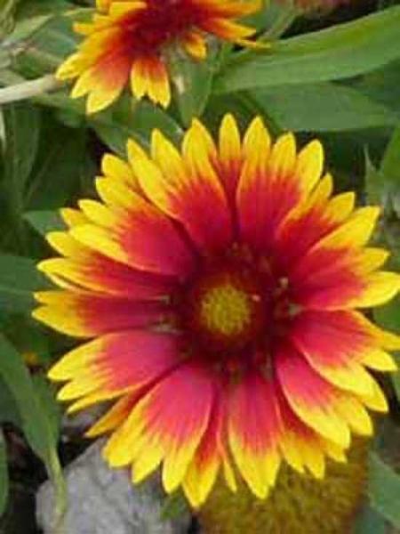 Gaillardia x grandiflora 'Kobold' / Papageienblume 'Kobold' / Großblumige Kokardenblume 'Kobold'