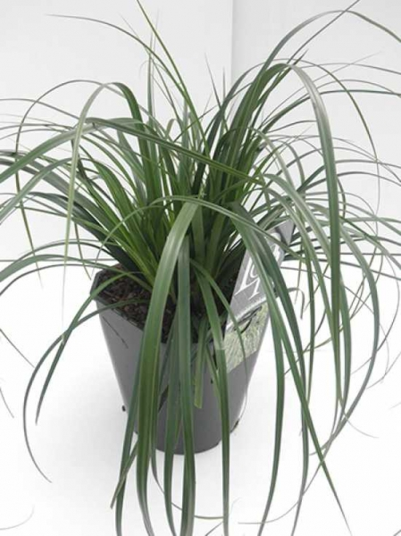 Carex oshimensis 'Evergreen' / Gartensegge 'Evergreen'