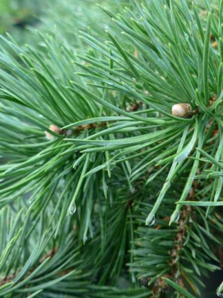 Pinus sylvestris 'Hillside Creeper' / Kriech-Kiefer 'Hillside Creeper'