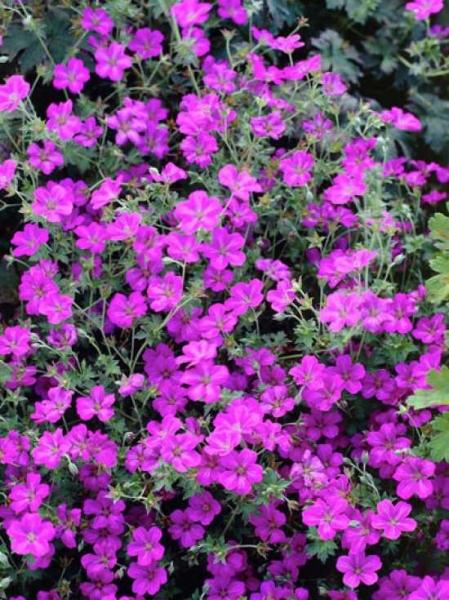 Geranium riversleaianum 'Russel Prichard' / Garten-Storchschnabel