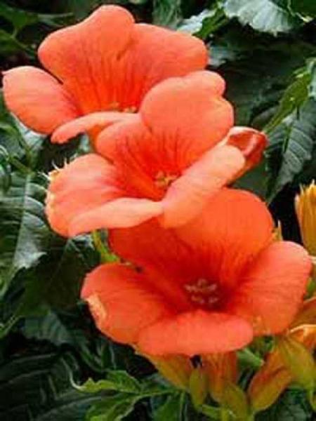 Campsis radicans 'Flamenco' / Amerikanische Trompetenblume 'Flamenco'
