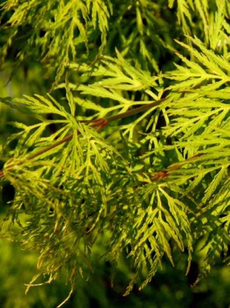 Acer palmatum 'Emerald Lace' auf Stamm / Fächerahorn / Japanischer Ahorn