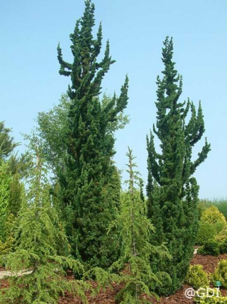 Juniperus chinensis 'Torulosa' / Wacholder 'Torulosa'