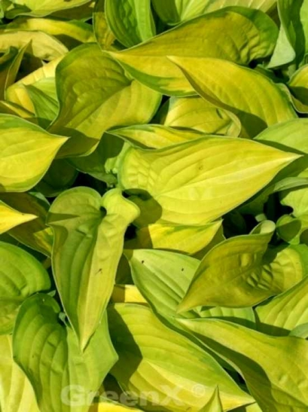Hosta Hybride 'Stained Glass'® / Gold-Funkie 'Stained Glass'