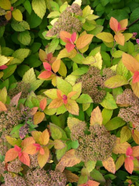 Spiraea 'Double Play Gold' ® / Japan-Spiere 'Double Play Gold'