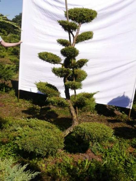 Juniperus media 'Hetzii' H: 190 cm B: 140 cm / Garten-Bonsai (301560)