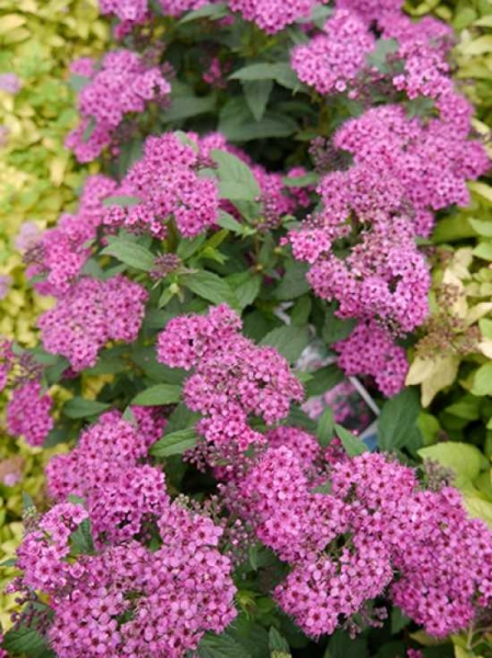 Spiraea japonica 'Anthony Waterer' / Rote Japan-Spiere / Sommerspiere