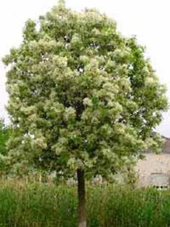 Fraxinus Ornus Blumen Esche Manna Esche Gnstig Kaufen