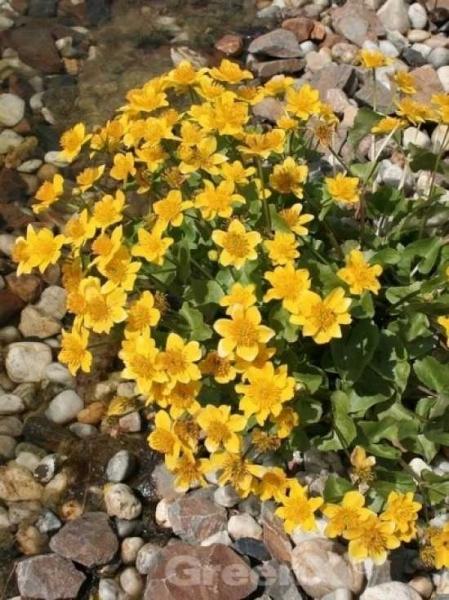 Caltha palustris / Caltha polypetala / Sumpfdotterblume