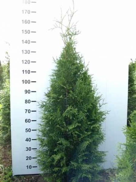 Thuja plicata 'Martin' / Lebensbaum 'Martin' 140-160 cm mit Ballierung