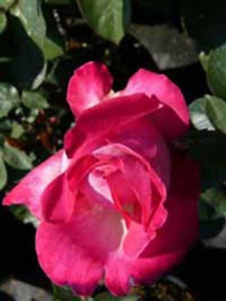 Rosa 'Bad Birnbach ®' / Beetrose 'Bad Birnbach'