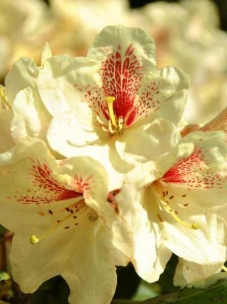 Rhododendron Hybride 'Goldbukett' / Rhododendron 'Goldbukett'