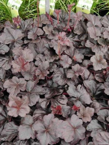 Heuchera micrantha 'Black Beauty ®' / Purpurglöckchen