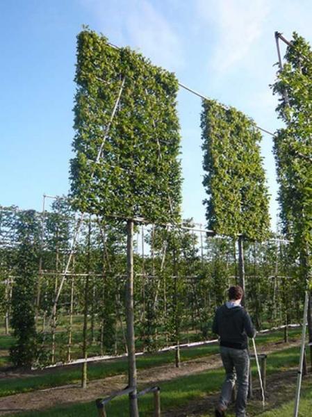 carpinus betulus hainbuche wei buche 39 hochstamm. Black Bedroom Furniture Sets. Home Design Ideas
