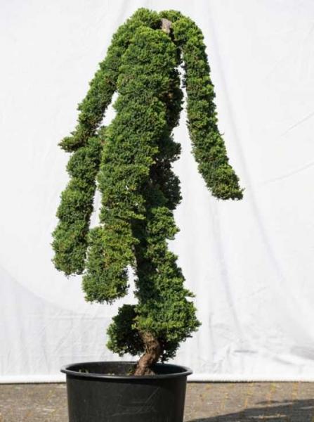 Juniperus procumbens 'Nana' H: 150 cm B: 70 cm / Garten-Bonsai (507)
