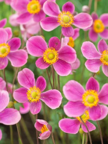 Anemone Hupehensis Splendens Japan Herbst Anemone Gunstig Kaufen