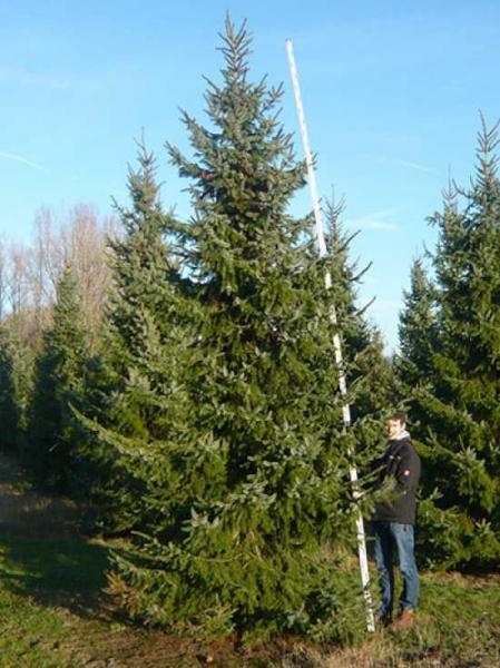Picea omorika / Serbische Fichte 500-550 cm mit Drahtballierung