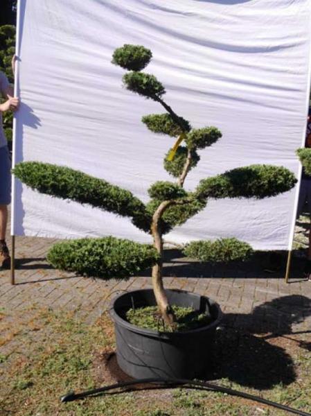 Juniperus virginiana 'Grey Owl' H:170 cm B: 160 cm / Garten-Bonsai (307504)