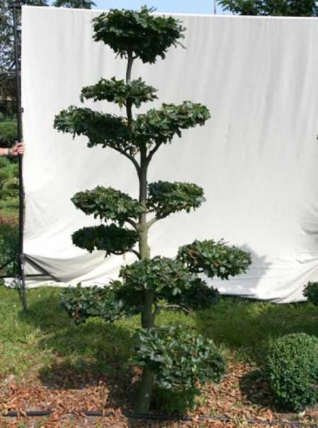 Fagus sylvatica H: 210 cm B: 120 cm / Garten-Bonsai (702106)